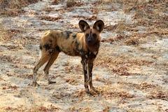 Afrikansk lös hundkapplöpning i savannahen av Zimbabwe royaltyfri foto