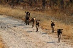 Afrikansk lös hundkapplöpning i savannahen av Zimbabwe arkivbild