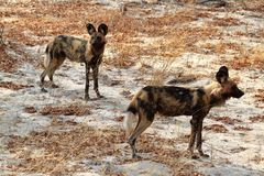 Afrikansk lös hundkapplöpning i savannahen av Zimbabwe arkivfoton