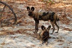 Afrikansk lös hundkapplöpning i savannahen av Zimbabwe royaltyfria bilder