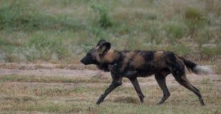 Afrikansk l?s hund som tillh?r en packe av s?llsynt afrikansk l?s hundkappl?pning som fotograferas p? Sabi Sands Game Reserve, Kr royaltyfria foton