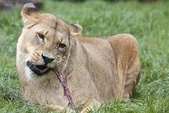 Afrikansk lejoninna som äter mål Arkivbild