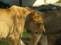 Afrikansk lejonstolthet som dricker på vattenhålet Arkivbild