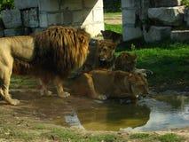Afrikansk lejonstolthet som dricker på vattenhålet Arkivfoto