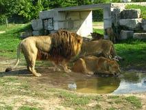 Afrikansk lejonstolthet som dricker på vattenhålet Arkivbilder