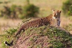 afrikansk leopard Royaltyfri Foto