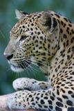 afrikansk leopard arkivfoto