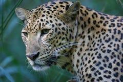 afrikansk leopard Arkivbild