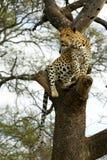 afrikansk leopard Arkivfoton