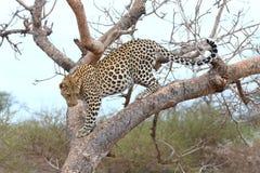 afrikansk leopard Royaltyfri Fotografi