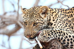 afrikansk leopard Fotografering för Bildbyråer
