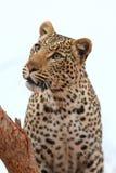 afrikansk leopard Royaltyfria Bilder
