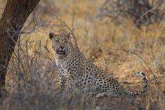 Afrikansk leopard - Pantherapardus royaltyfri bild