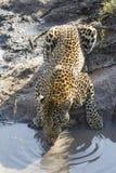 Afrikansk leopard (Pantherapardus) som dricker Sydafrika Arkivfoto