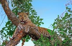 Afrikansk leopard som vilar och ser direkt in i kamera i den södra Luangwa nationalparken, Zambia royaltyfria foton