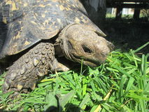 afrikansk leopardsköldpadda Arkivbild