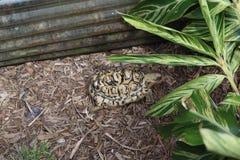 afrikansk leopardsk?ldpadda George C Den McGough naturen parkerar royaltyfria foton