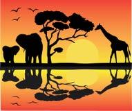 afrikansk liggande Arkivfoto