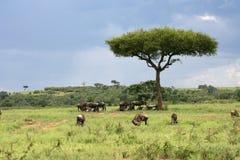 afrikansk liggande Royaltyfria Bilder