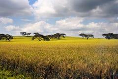 Afrikansk liggande med acacias Arkivfoton