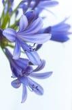 Afrikansk lilja. Blommabakgrund royaltyfria bilder