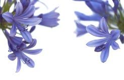 Afrikansk lilja. Blommabakgrund Arkivbild
