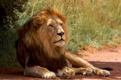 afrikansk lion Royaltyfria Bilder