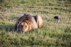 Afrikansk Lion Royaltyfria Foton