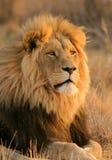 afrikansk lion