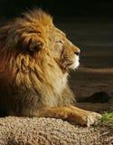 afrikansk lion Arkivbilder