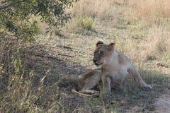 afrikansk lion Royaltyfri Bild