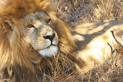 afrikansk lion zimbabwe Royaltyfri Fotografi
