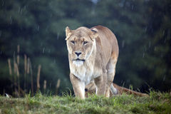 afrikansk lioness Royaltyfri Foto