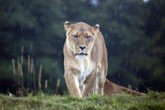 afrikansk lioness Royaltyfria Bilder