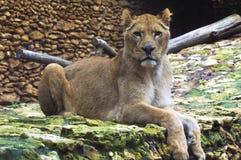 afrikansk lioness Arkivfoton
