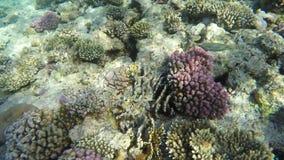 afrikansk lionfash för underkantkorallfisk nära den giftiga undervattens- världen för rött hav lager videofilmer