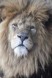 afrikansk lionmanlig royaltyfria foton