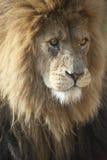 afrikansk lionmanlig arkivbild