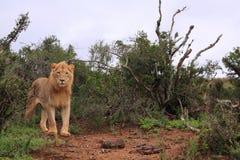 afrikansk lionmanlig som plattforer wild Arkivbilder