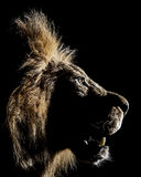 afrikansk lionmanligprofil royaltyfri foto