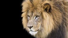 afrikansk lionmanligstående Arkivbild