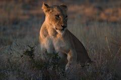 afrikansk lionness Arkivfoto