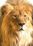Afrikansk lionstående, panthera leo Arkivfoton