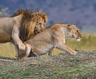 afrikansk lionstående Arkivbild