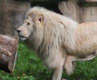 afrikansk lionwhite Arkivfoton