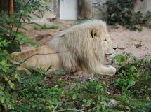 afrikansk lionwhite Royaltyfri Fotografi