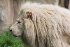 afrikansk lionwhite Royaltyfri Foto