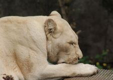 afrikansk lionwhite Royaltyfria Foton