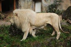 afrikansk lionwhite Arkivfoto