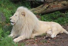 afrikansk lionwhite Royaltyfri Bild